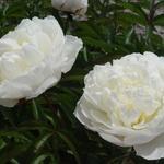 Paeonia lactiflora 'Shirley Temple' - Pioen - Paeonia lactiflora 'Shirley Temple'
