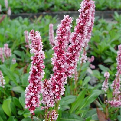 Persicaria affinis 'Dimity' -