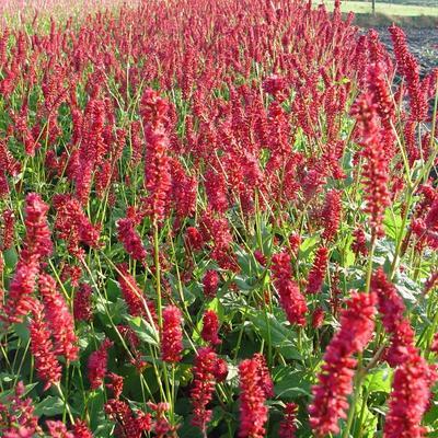 Persicaria amplexicaulis 'Sangre' -