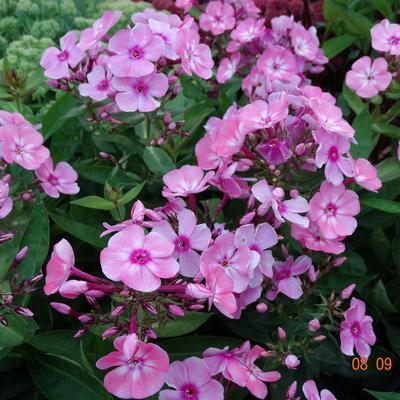 Phlox paniculata 'SWEET SUMMER Candy' -