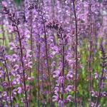 Veldsalie - Salvia sylvestris (x) 'Serenade'