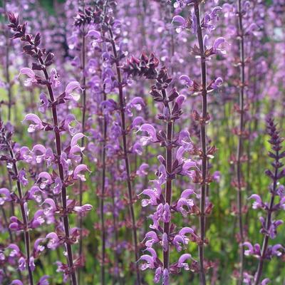Salvia sylvestris (x) 'Serenade' -