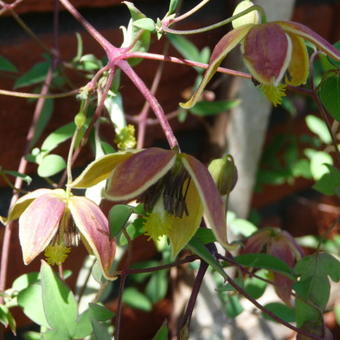 Clematis tangutica 'My Angel'