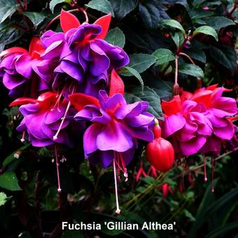 Fuchsia 'Gillian Althea'