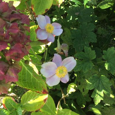 Anemone hupehensis 'September Charm' -