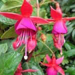 Fuchsia 'Charming' -
