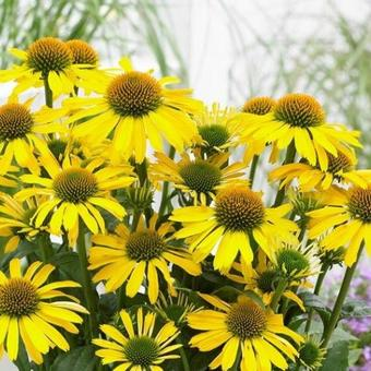 Echinacea SUNSEEKERS 'Yellow'