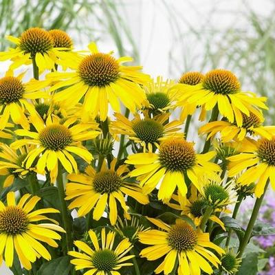 Rode zonnehoed - Echinacea SUNSEEKERS 'Yellow'