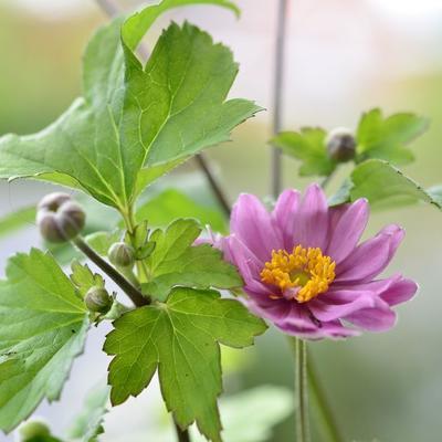 Anemone x hybrida 'Giselle' -
