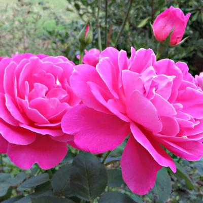 Rosa 'Pink Peace' - Roos