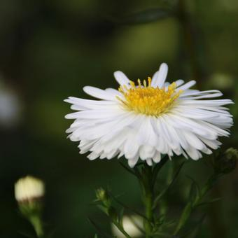 Aster novi-belgii 'White Ladies'