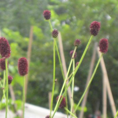 Sanguisorba officinalis - Grote pimpernel