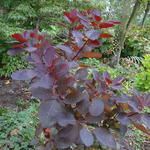 Cotinus 'Grace' - Pruikenboom