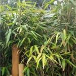 Japanse bamboe, Schijnbamboe, Sjalotbamboe - Pseudosasa japonica