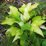 Hosta 'Fire Island' - Hartlelie/Funkia