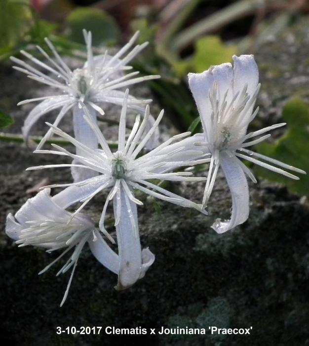 bosrank clematis x jouiniana praecox planten online. Black Bedroom Furniture Sets. Home Design Ideas