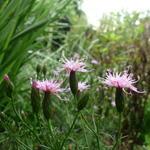 Serratula tinctoria var. seoanei - Serratula tinctoria var. seoanei - Zaagblad