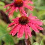 Echinacea 'Mama Mia'  - Echinacea 'Mama Mia'  - Rode zonnehoed