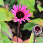 Zonnehoed - Echinacea purpurea 'Fatal Attraction'
