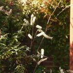 Actaea simplex 'Giant Strain' - Actaea simplex 'Giant Strain' - Christoffelkruid