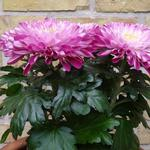 Chrysanthemum 'Zembla Purple' - Chrysant - Potchrysant