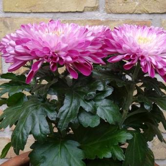 Chrysanthemum 'Zembla Purple'