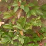 Parthenocissus henryana - Parthenocissus henryana - Wilde wingerd