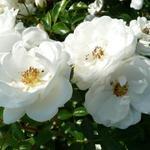 Rosa 'Innocencia'  - Roos - Rosa 'Innocencia'