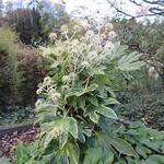 Fatsia japonica 'Spider's Web' - Vingerplant - Fatsia japonica 'Spider's Web'