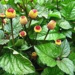 Acmella oleracea - Acmella oleracea - Champagneblad, Parakers