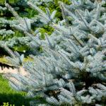 Picea pungens 'Super Blue Seedling' - Kerstboom - Blauwspar - Picea pungens 'Super Blue Seedling'