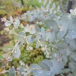 Eucalyptus gunnii 'Azura' - Koortsboom - Eucalyptus gunnii 'Azura'