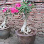 Adenium obesum - Adenium obesum - Woestijnroos, Impalalelie
