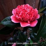 Camellia japonica 'Volunteer' - Camellia japonica 'Volunteer' - Camelia