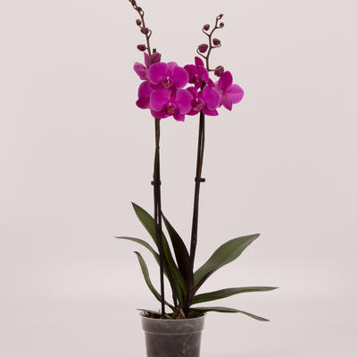 Vlinderorchidee - Phalaenopsis 'Evolution'