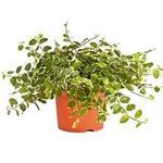 Ficus pumila 'White Sunny' - Ficus pumila 'White Sunny' - Kruipende vijg