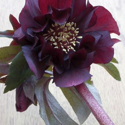Helleborus orientalis 'Purple Pink Pompon' -