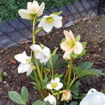Helleborus niger 'Happy Days' - Kerstroos