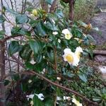 Camellia japonica 'Alba simplex' - Camellia japonica 'Alba simplex' - Camelia