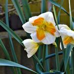 Narcissus 'Tricollet' -