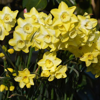 Narcissus 'Regeneration'