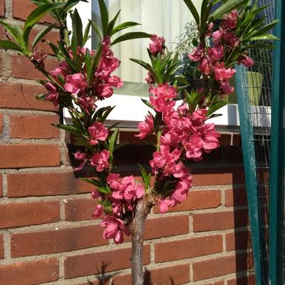 Prunus persica var. nucipersica 'Silver Prolific' -