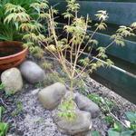 Acer palmatum 'Bi-hoo' - Japanse esdoorn - Acer palmatum 'Bi-hoo'
