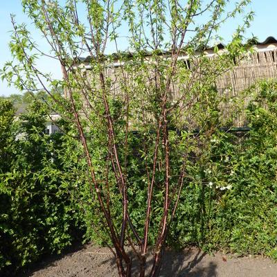 Prunus serrula -