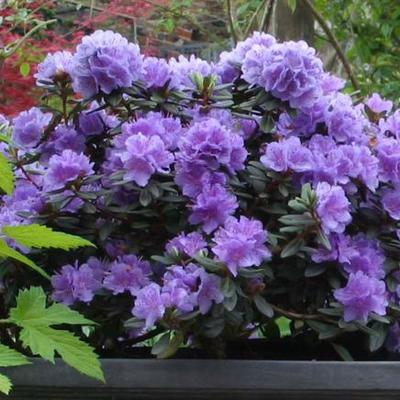 Rododendron - Rhododendron 'Ramapo'