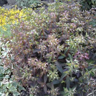 Euphorbia dulcis 'Chameleon' -