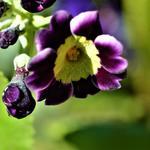 Primula x pubescens - Sleutelbloem - Primula x pubescens