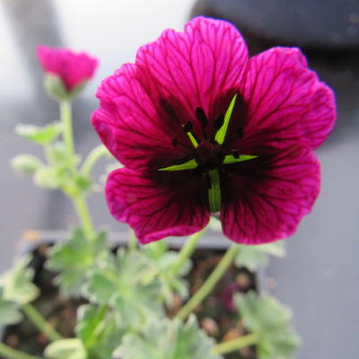 Geranium cinereum 'Jolly Jewel Purple' -