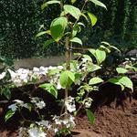 Viburnum plicatum 'Kilimandjaro Sunrise' - Japanse sneeuwbal - Viburnum plicatum 'Kilimandjaro Sunrise'