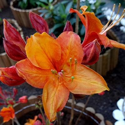 Rhododendron Knaphill -